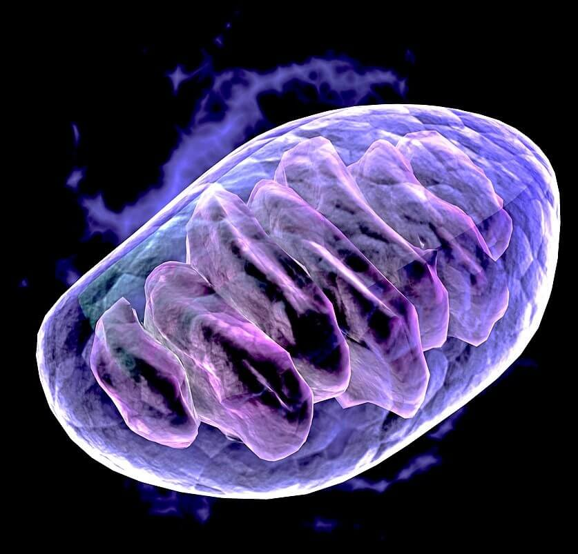 4 Complete Ways to Improve Mitochondrial Function   Dr  Kim Crawford
